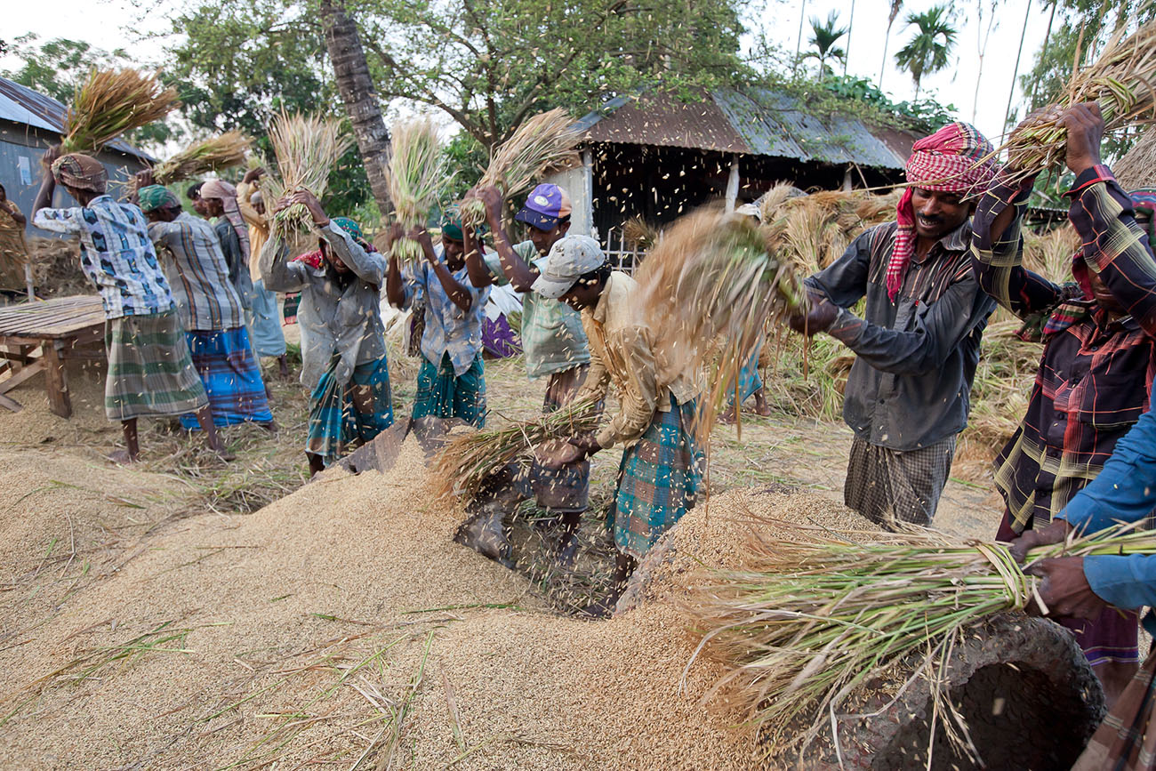 Villagers in India threshing recently-harvested grain.