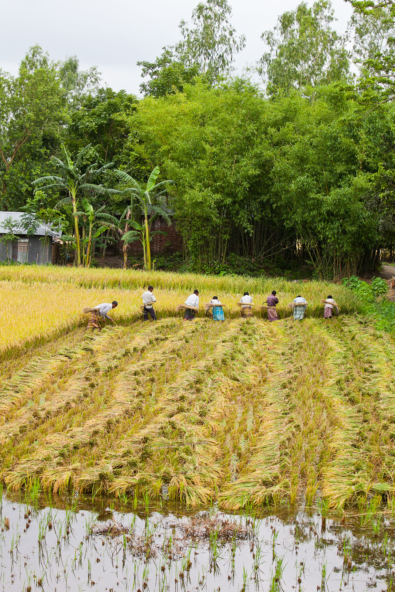 Villagers harvesting a field in India.