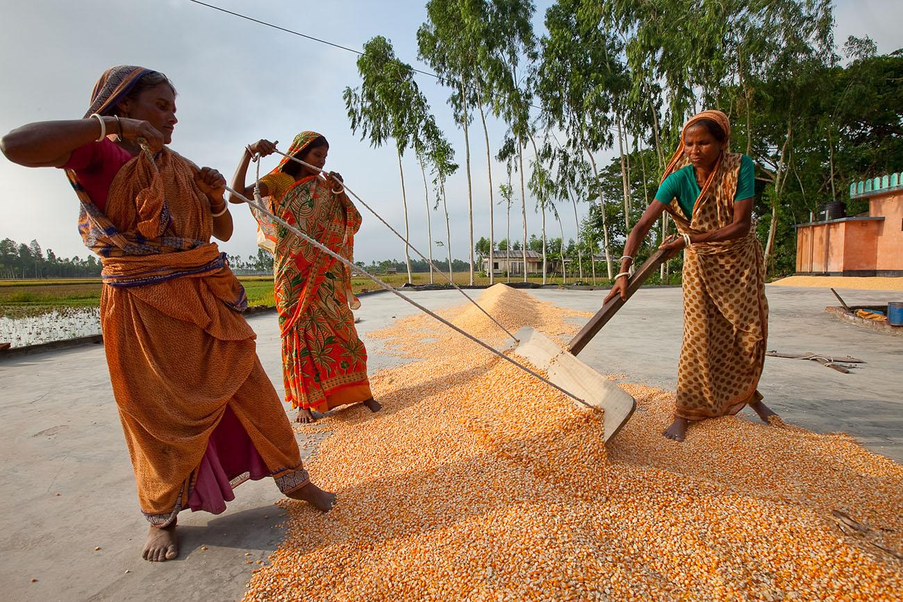 Bangladeshi women organize grain into piles.