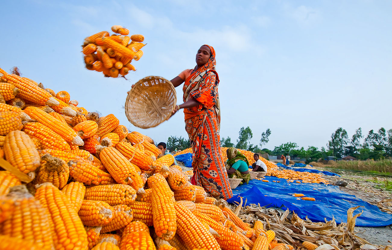 A woman in Bangladesh tosses more corn onto the pile.