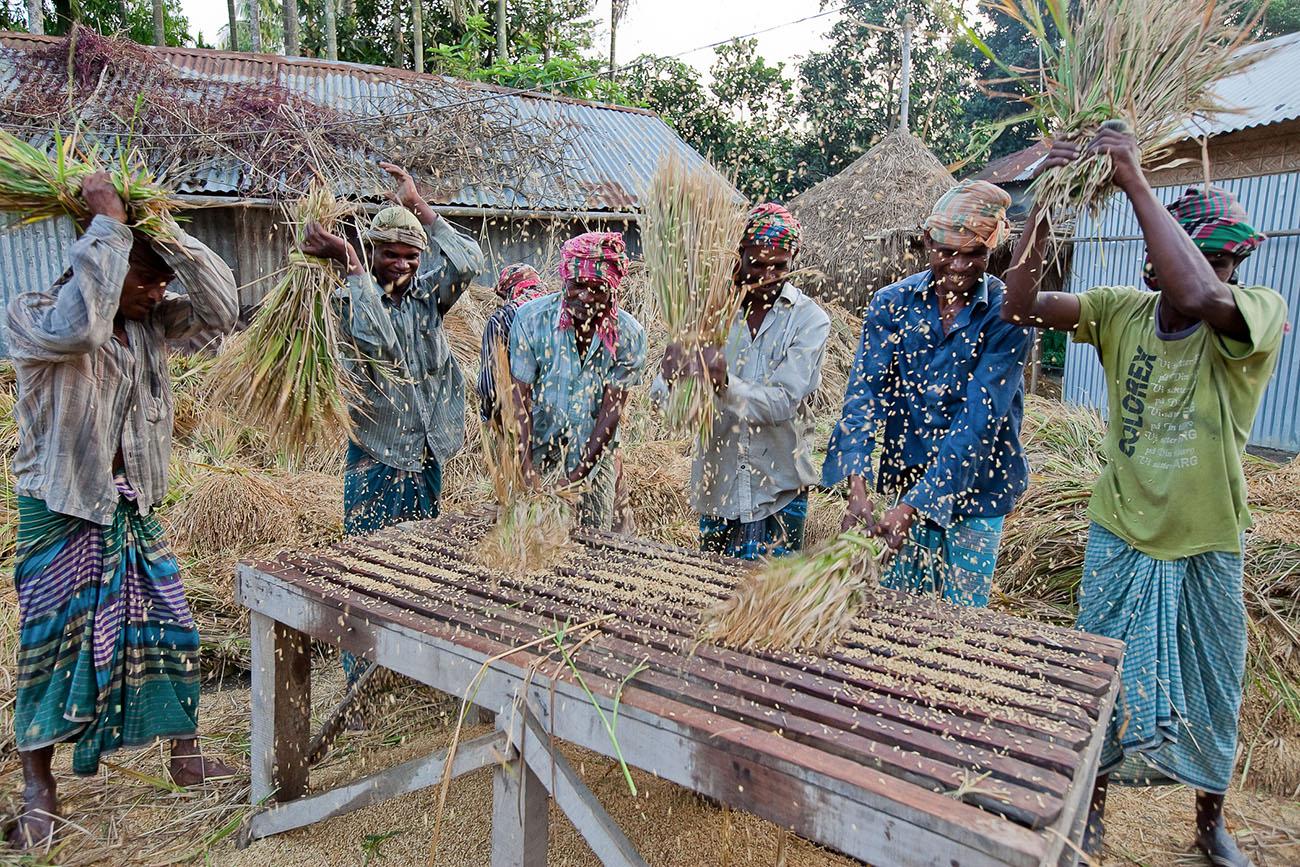 People in a village in Bangladesh thresh grain.