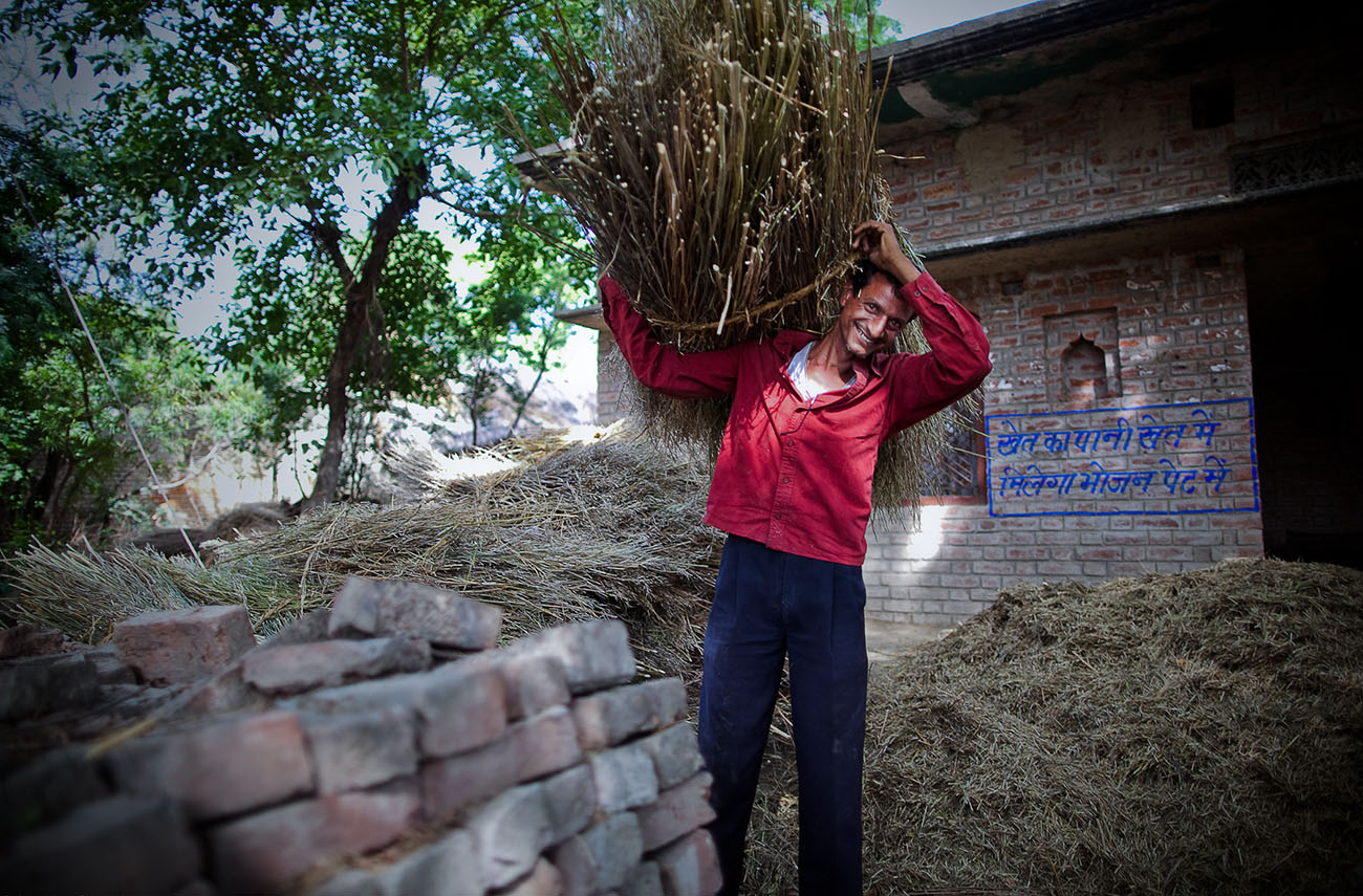 An Indian man lifts a big bundle of harvested grain over his shoulder.
